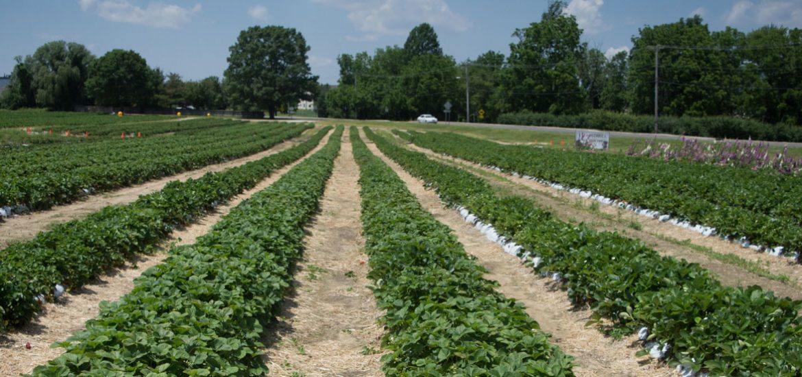 Rowand's Farm, a view of the strawberry picking area