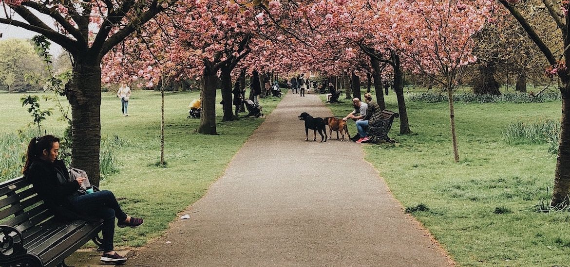 Far away image of person walking dog at a park under a cherry tree.