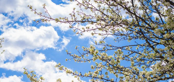 A newly blooming white flower tree stems with white clouds behind it.