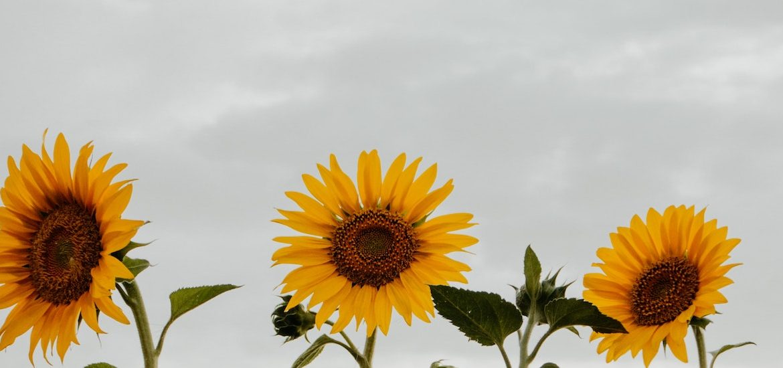 Stock photo of sunflowers.